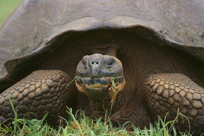 Galapagos Tortoise Eating Grass Photographic Print by  DLILLC