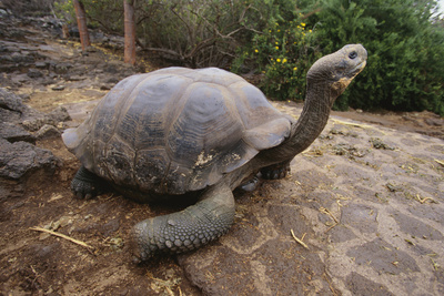 Galapagos Tortoise Stretching Photographic Print by  DLILLC