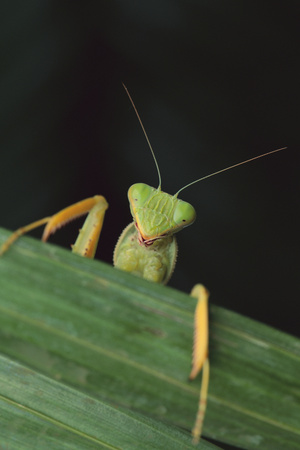 Praying Mantis Looking out from behind Leaf Photographic Print by  DLILLC