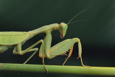 African Praying Mantis on Stalk Photographic Print by  DLILLC
