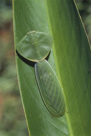 Leaf Mantis Camouflaged on a Leaf Photographic Print by  DLILLC