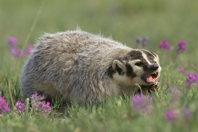 Badger in Meadow Photographic Print by  DLILLC