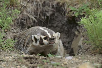 Badger near Den Photographic Print by  DLILLC