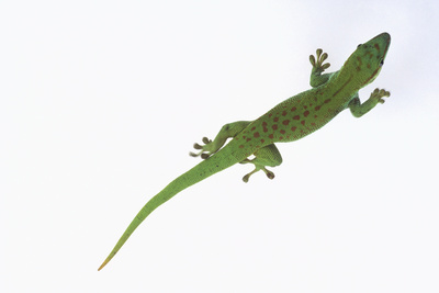 Day Gecko Photographic Print by  DLILLC