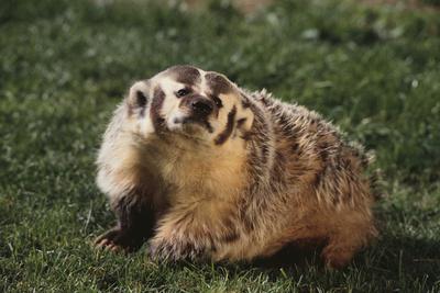 Badger Photographic Print by  DLILLC