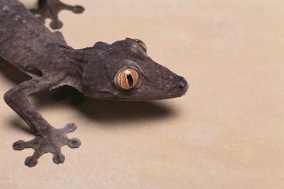 Leaf-Tail Gecko Photographic Print by  DLILLC