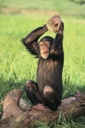 Chimpanzee Smashing Rocks Photographic Print by  DLILLC