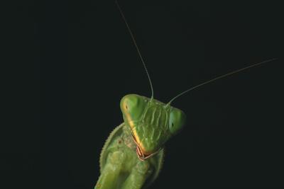 Praying Mantis Photographic Print by  DLILLC