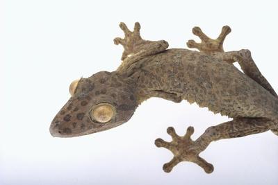 Madagascar Leaf-Tail Gecko Photographic Print by  DLILLC
