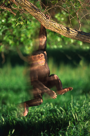 Chimp Swinging from Tree Branch Photographic Print by  DLILLC