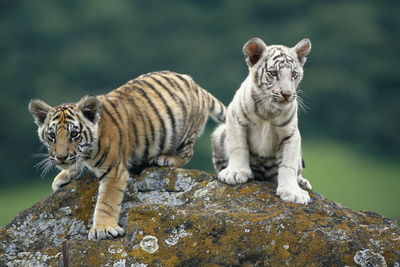 Bengal Tiger Cubs Perched on Rock Photographic Print by  DLILLC