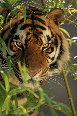 Bengal Tiger behind Bamboo Photographic Print by  DLILLC