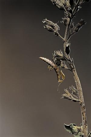 Mantis Religiosa (Praying Mantis) - Larva Photographic Print by Paul Starosta