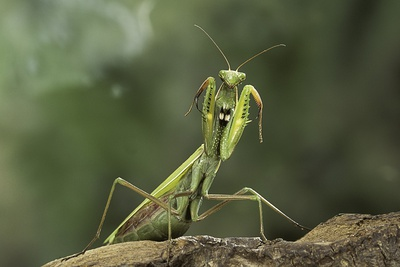 Mantis Religiosa (Praying Mantis) - in Defensive Posture, Threat Display Photographic Print by Paul Starosta