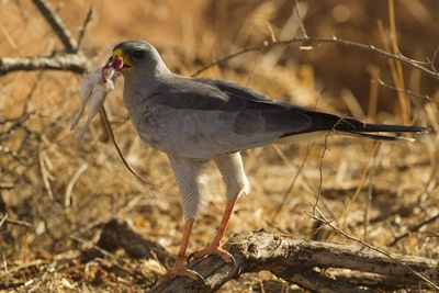 Pale Chanting Goshawk Eating Rodent Stampa fotografica di Mary Ann McDonald