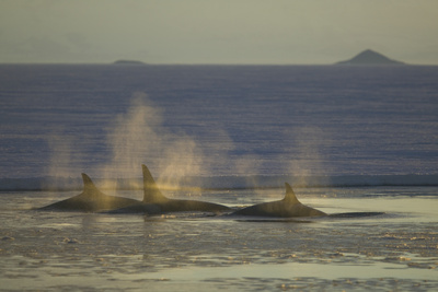 Pod of Killer Whales Photographic Print by  DLILLC