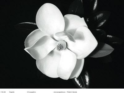 Magnolia Prints by Sara Liu