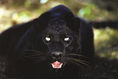 Black Panther Close Up Prints