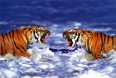 Bengal Tigers Roaring Posters at AllPosters.
