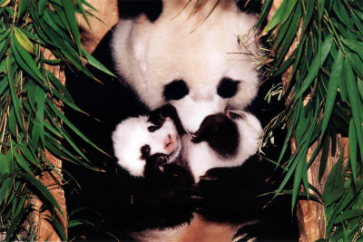 pandaers øjne uden det sorte