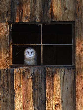A Barn Owl, Tyto Alba, in the Window of a Barn Lámina en metal