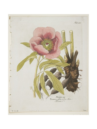 Paeonie Giclee Print by Ferdinand Bernhard Vietz