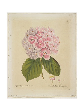 Schonbluhende Hydrangia Giclee Print by Ferdinand Bernhard Vietz