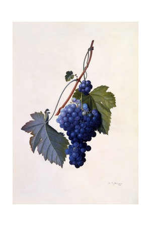 Grapes, C.1747 Giclee Print by Georg Dionysius Ehret