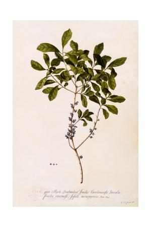 Bayberry or Myrtle, C.1746 Giclee Print by Georg Dionysius Ehret
