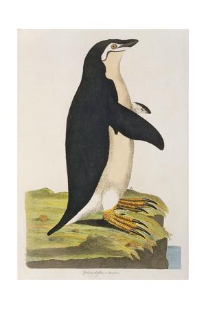 Aptenodytes Antarctica' from 'Cimelia Physica. Figures of Rare and Curious Quadrupeds Giclee Print by John Frederick Miller
