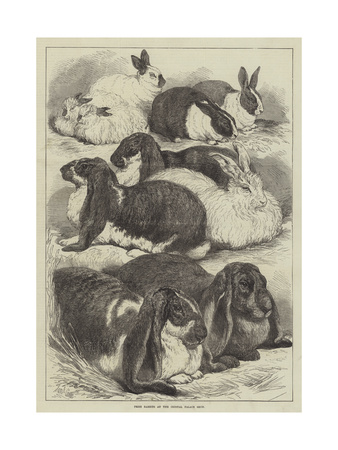 Prize Rabbits at the Crystal Palace Show Giclee Print by Samuel John Carter