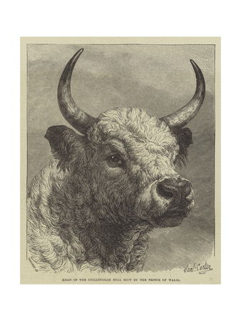 Head of the Chillingham Bull Shot by the Prince of Wales Giclee Print by Samuel John Carter