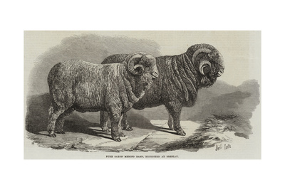 Pure Saxon Merino Rams, Exhibited at Breslau Giclee Print by Samuel John Carter