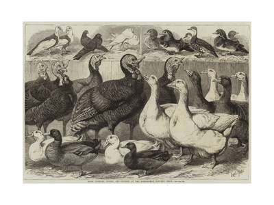 Prize Turkeys, Ducks, and Pigeons at the Birmingham Poultry Show Giclee Print by Samuel John Carter
