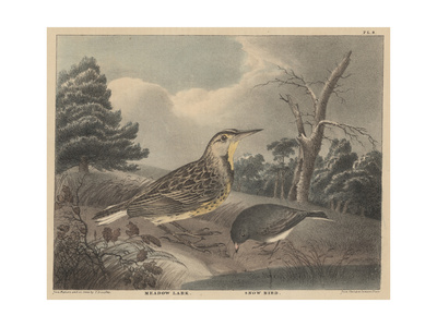 Meadow Lark and Snow Bird Giclee Print by Thomas Doughty