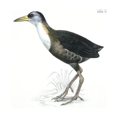 Birds: Gruiformes, White-Striped Forest-Rail (Rallina Leucospila) Giclee Print