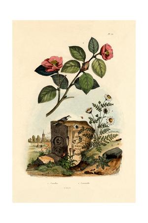 Camellia, 1833-39 Giclee Print