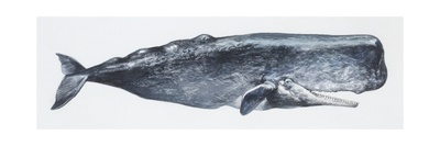 Zoology: Mammals: Sperm Whale (Physeter Catodon) Giclee Print