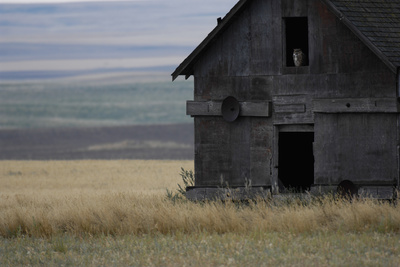 A Great Horned Owl Sits in a Window in an Old Barn Photographic Print by Michael Forsberg