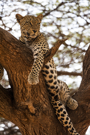A Leopard, Panthera Pardus, Perches in a Tree Photographic Print by Pete McBride