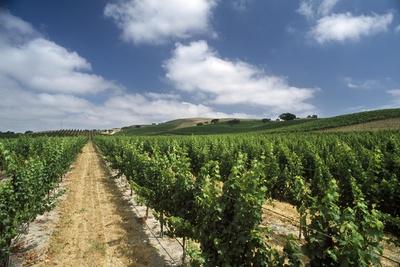 A Vineyard in Santa Ynez Photographic Print by Macduff Everton