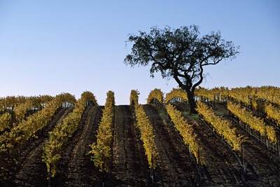 A Vineyard in Santa Barbara County Photographic Print by Macduff Everton