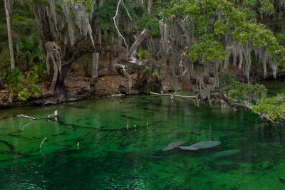 West Indian Manatees Rest Underwater in Blue Springs State Park, Orlando, Florida Photographic Print by Ben Horton