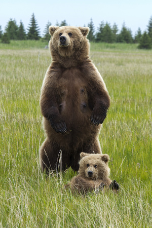 A Grizzly Bear Mother, Ursus Arctos Horribilis, Stands to Protect Her Cub Photographic Print by Barrett Hedges