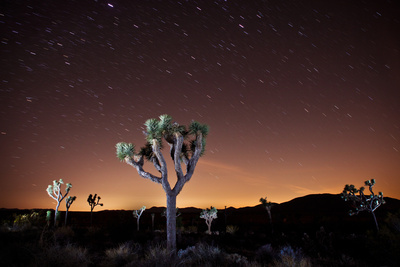 Joshua Tree National Park, California, United States: Star Trails over a Joshua Tree at Night Photographic Print by Ben Horton
