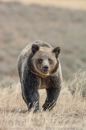 Front View of a Grizzly Bear in a Grass Field Photographic Print by Tom Murphy