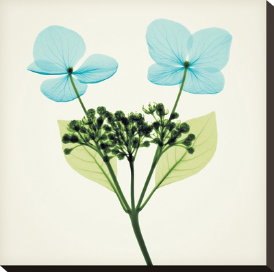 Hydrangea Stem I Stretched Canvas Print by Steven N. Meyers
