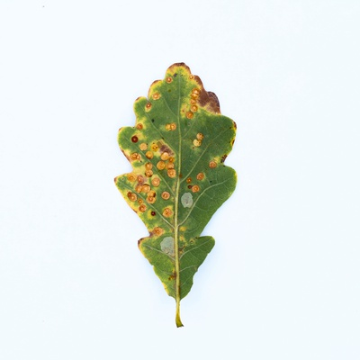 Single Oak Leaf Photographic Print by Clive Nolan