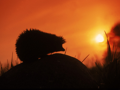 Hedgehog (Erinaceus Europaeus) Silhouette at Sunset, Poland, Europe Metal Print by Artur Tabor