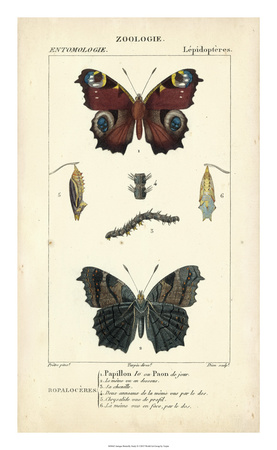 Antique Butterfly Study II Giclee Print by  Turpin